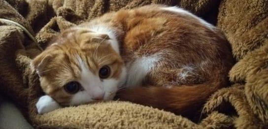 我が家の飼い猫(スコティッシュフォールド)